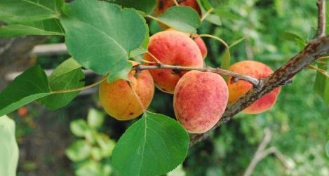 gyümölcsfa