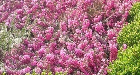 Alpesi erika (Erica carnea)