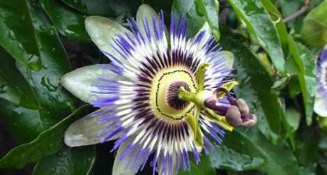 Golgotavirág - jellegzetes virágú kúszónövény