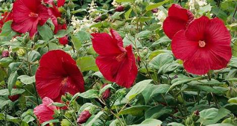 Mocsári mályva (Hibiscus moscheutos)