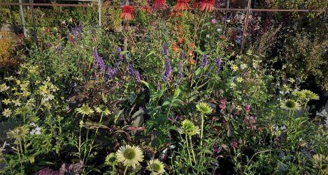 Kasvirág, izsópfű, őszi zsálya, tűzeső