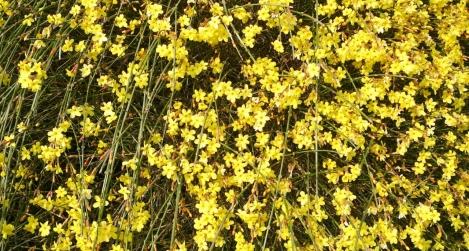 Téli jázmin (Jasminum nudiflorum)